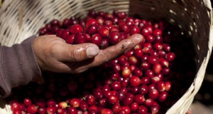 drupa red coffee beans