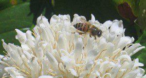 bees coffee growers Brazil