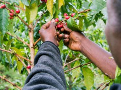 kenia coffee grower