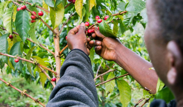 kenia coffee grower