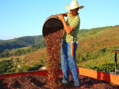 prices Cepea coffee output Brazilian farmers