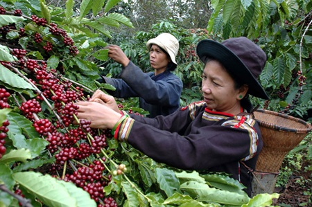 Vietnam S Dak Nong Province Increases Aid To The Coffee