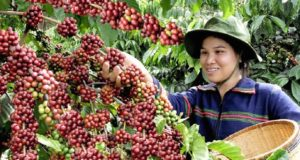 coffee exports vietnam