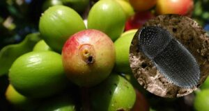 coffee berry borer