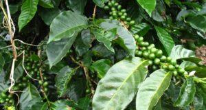 coffee leaf tea