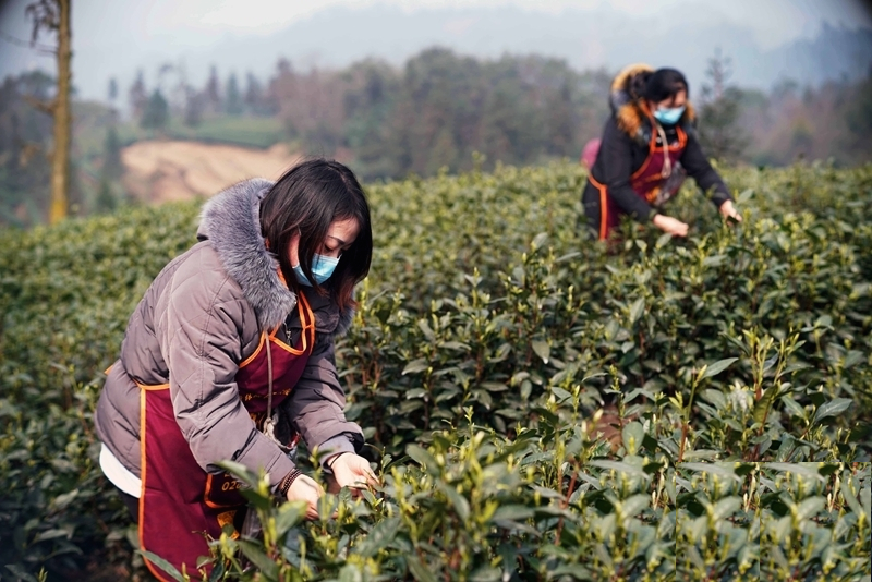 Coronavirus very unlikely be transmitted via tea, herbs, coffee and food