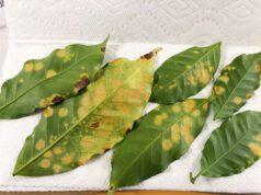 Hawai`i quarantine Coffee leaf rust