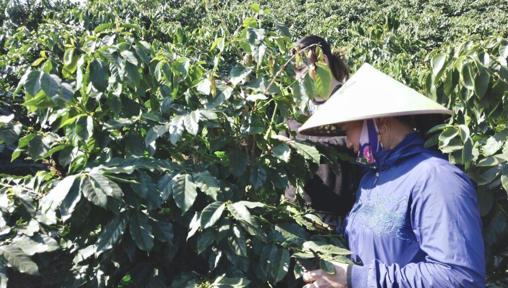 Sơn La coffee Vietnam