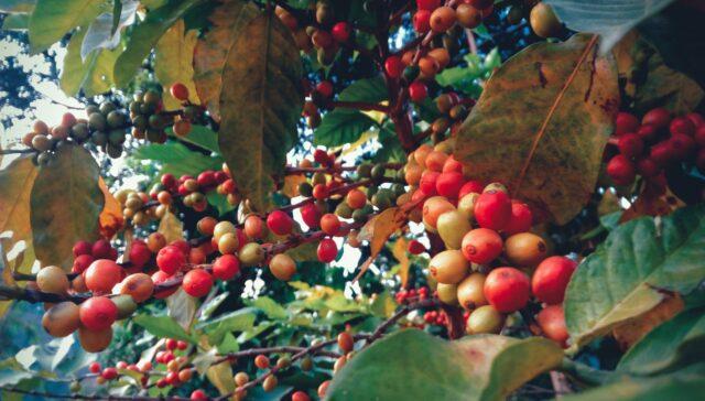 Nepali coffee