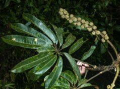 Sciadophyllum Purocafeanum